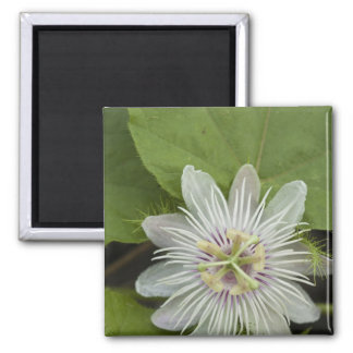 Galapagos Passion Flower Passiflora foetida Magnet
