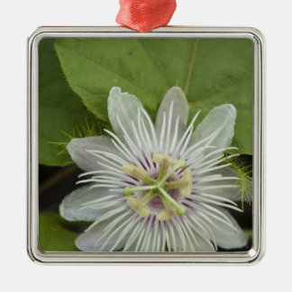Galapagos Passion Flower Passiflora foetida Metal Ornament