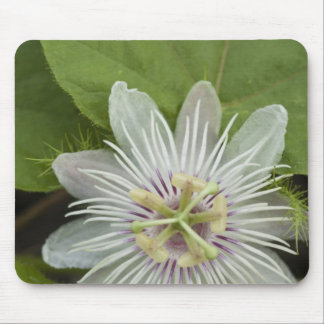Galapagos Passion Flower Passiflora foetida Mouse Pad