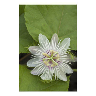 Galapagos Passion Flower Passiflora foetida Photo Print