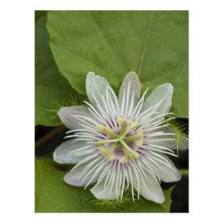 Galapagos Passion Flower Passiflora foetida Postcard