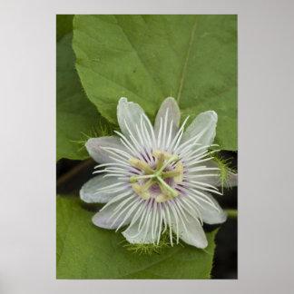 Galapagos Passion Flower Passiflora foetida Poster