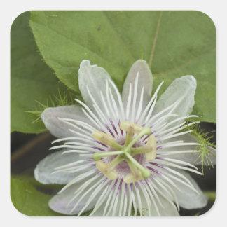 Galapagos Passion Flower Passiflora foetida Square Sticker