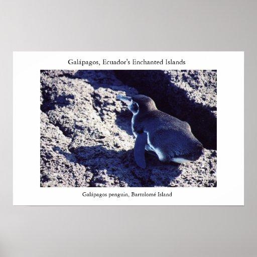 Galápagos penguin basks along the equator posters
