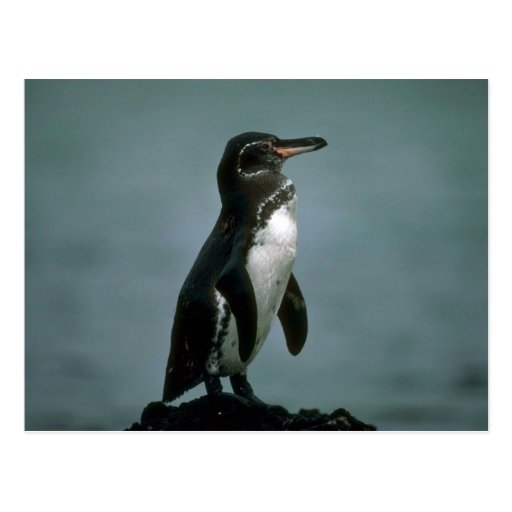 Galapagos' Penguin On Lava Rock Post Cards