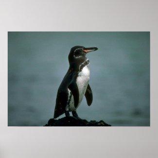 Galapagos' Penguin On Lava Rock Print