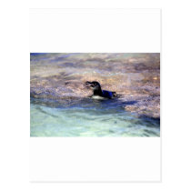 Galapagos penguin swimming postcard