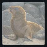 "Galapagos sea lion stone coaster<br><div class=""desc"">Kevin Oke / DanitaDelimont.com | Central America,  Ecuador | South America,  Ecuador,  Galapagos Islands,  North Seymour Island. Galapagos sea lion (Zalophus wollebaeki) pup looking around.</div>"