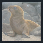 "Galapagos sea lion stone coaster<br><div class=""desc"">Kevin Oke / DanitaDelimont.com 