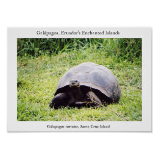 Galápagos tortoise, big as he wants to be poster