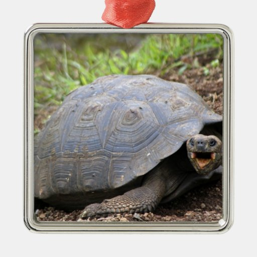 Galapagos Tortoise with mouth open Ornaments