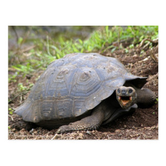 Galapagos Tortoise with mouth open Postcard