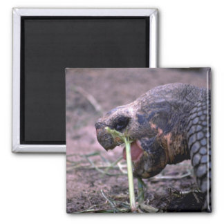 Galapagos Turtle, Galapagos Islands Refrigerator Magnets