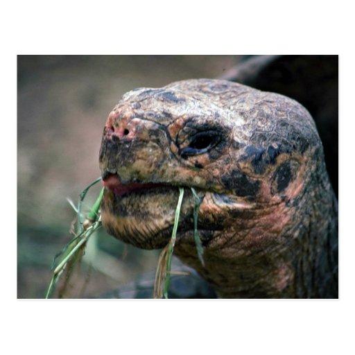 Galapagos Turtle, Galapagos Islands Postcard