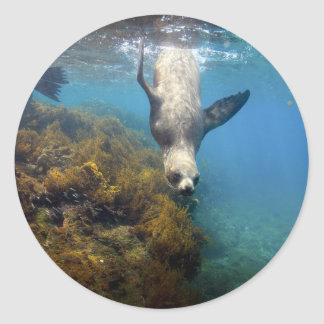 Galapagos underwater sea lion hang time classic round sticker
