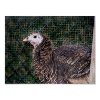 Gallina de pavo malhumorada con las plumas rizadas poster