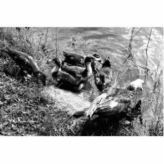 Gallina y anadones del pato de Muscovy blancos y n Fotoescultura Vertical
