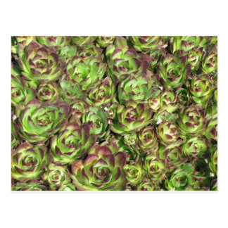 Gallina y polluelos (Crassulaceae) Tarjeta Postal
