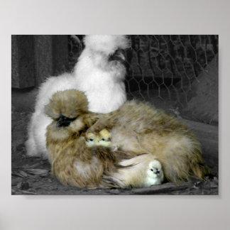 Gallinas de Silkie con los polluelos que miran a