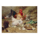 Gallinas roosting con sus pollos poster