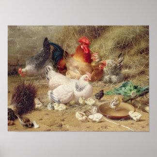 Gallinas roosting con sus pollos póster