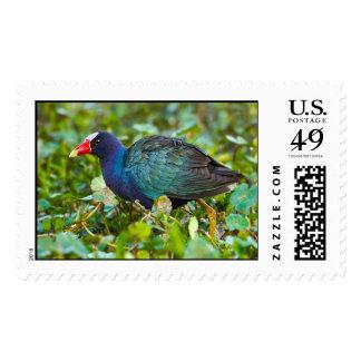 Gallinule púrpura sellos