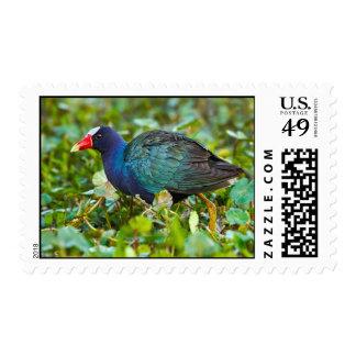 Gallinule púrpura sello