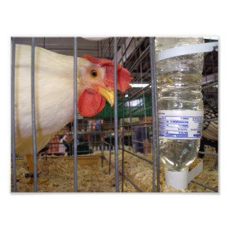 Gallo blanco en jaula por la botella de agua impresiones fotograficas