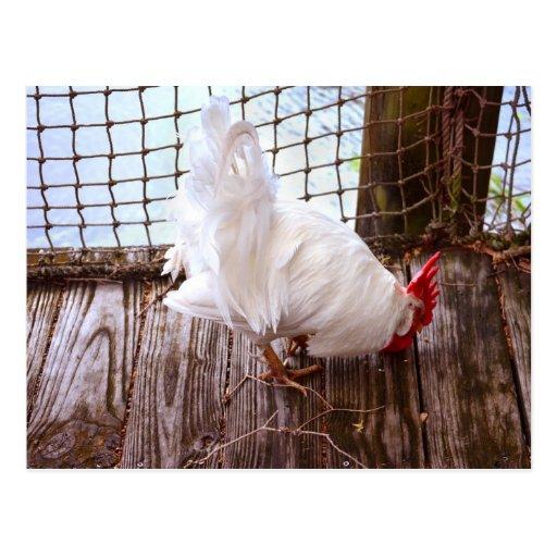 gallo blanco en la consumición del muelle tarjetas postales