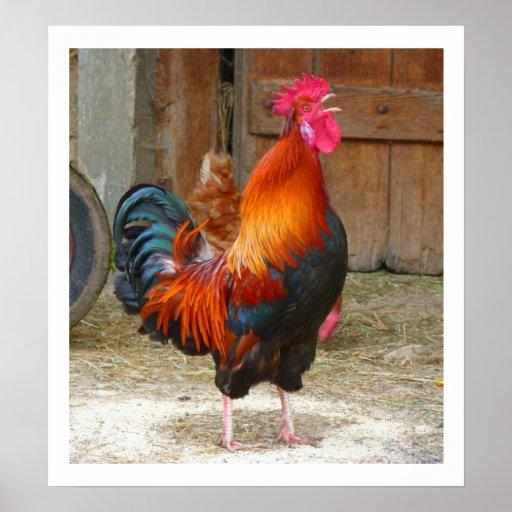 Gallo de cacareo colorido por el poster del graner