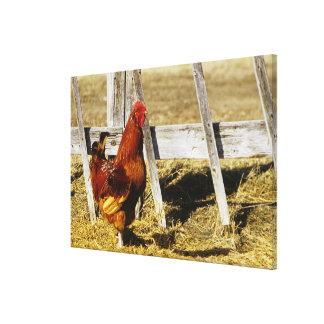 Gallo del rojo de Rhode Island Impresiones En Lona