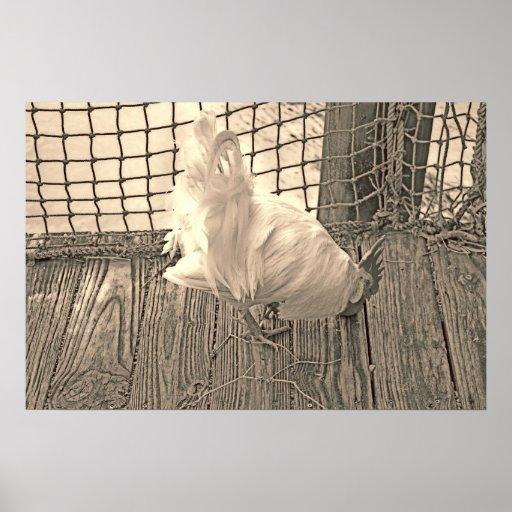 gallo en imagen del pájaro de la sepia del muelle posters