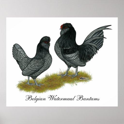 Gallos de Watermaal del belga Posters
