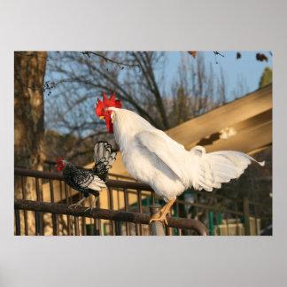 """Gallos del """"gallo y de Sebright"""" Póster"""