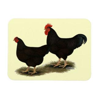Gallos del rojo de Rhode Island Imanes De Vinilo