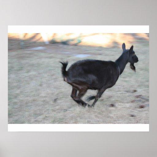 Gama alpina negra de la cabra que corre lejos a la posters