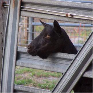 Gama alpina negra de la cabra que espera en la pue esculturas fotográficas