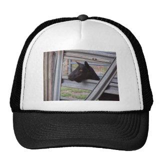 Gama alpina negra de la cabra que espera en la pue gorras de camionero