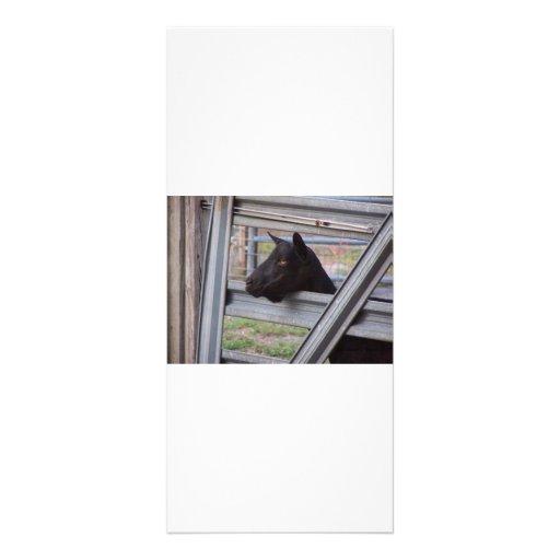 Gama alpina negra de la cabra que espera en la pue plantilla de lona