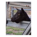 Gama alpina negra de la cabra que espera en la postales