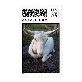 Gama blanca de la cabra de la lechería de Saanen Envio