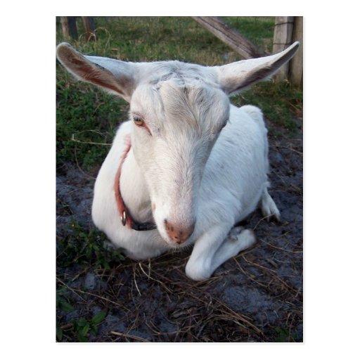 Gama blanca de la cabra de la lechería de Saanen Postales