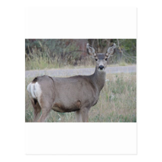 Gama del ciervo mula postal