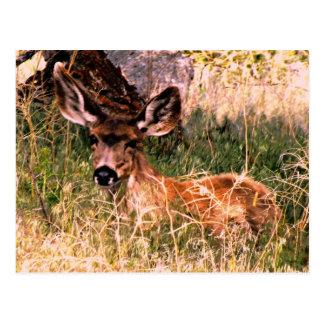 Gama del ciervo mula tarjetas postales