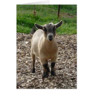 Gama enana de la cabra tarjeta pequeña