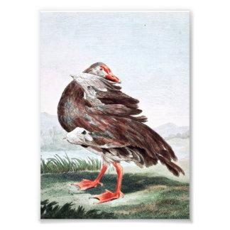 Gambian Goose Vintage Art Photo