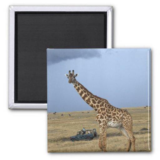 Game drive safari watching Masai Giraffe Fridge Magnet