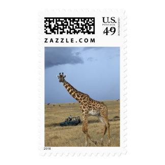 Game drive safari watching Masai Giraffe Postage Stamp