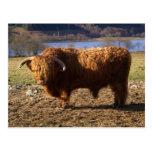 Ganado Bull, Escocia de la montaña Postales
