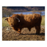 Ganado Bull, Escocia de la montaña Poster